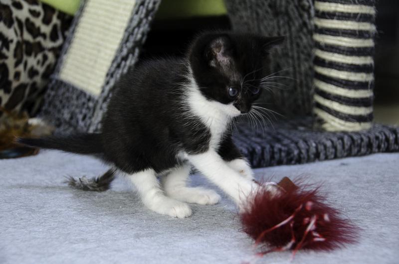Iona, chatonne noire et blanche, née vers le 15 Aout 2013 Iona-J15-1_zps16186016