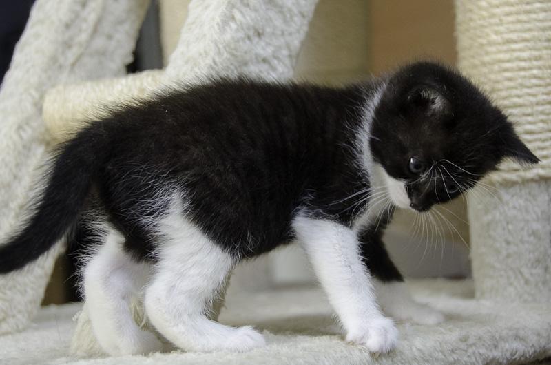 Iona, chatonne noire et blanche, née vers le 15 Aout 2013 Iona-J15-7_zpsb03a62d1