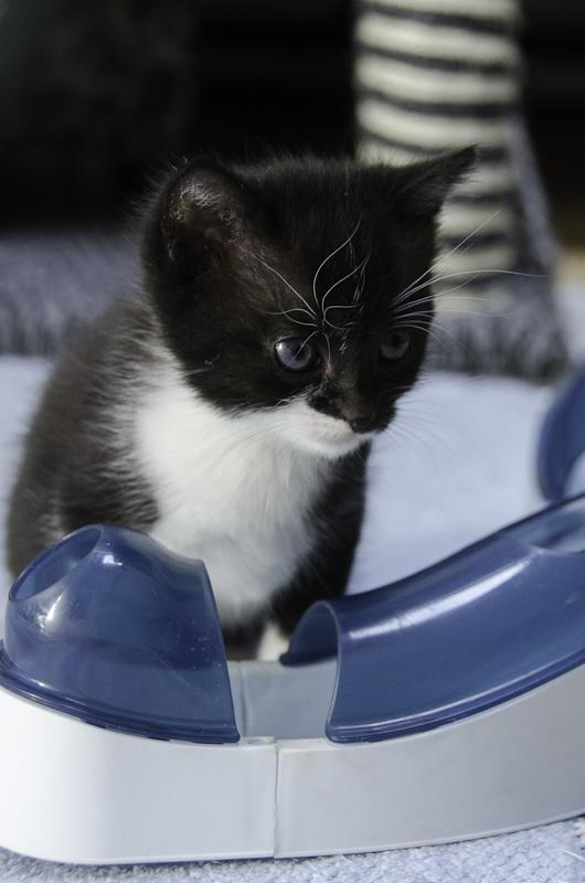 Iona, chatonne noire et blanche, née vers le 15 Aout 2013 Iona-J15-8_zpse0b65361