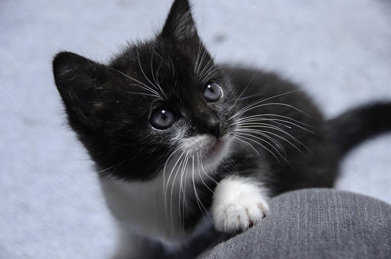 Iona, chatonne noire et blanche, née vers le 15 Aout 2013 Iona-J18-2_zpsade90836