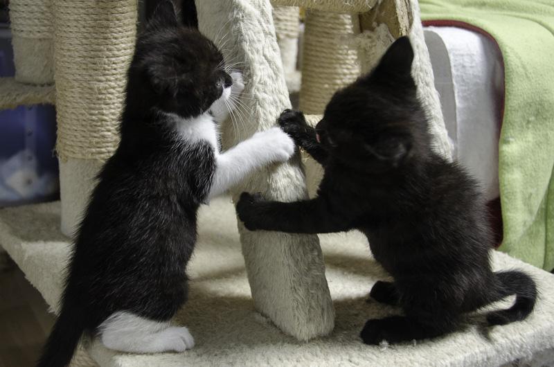 Iona, chatonne noire et blanche, née vers le 15 Aout 2013 Iona-J18-5_zpse3c9c0a2