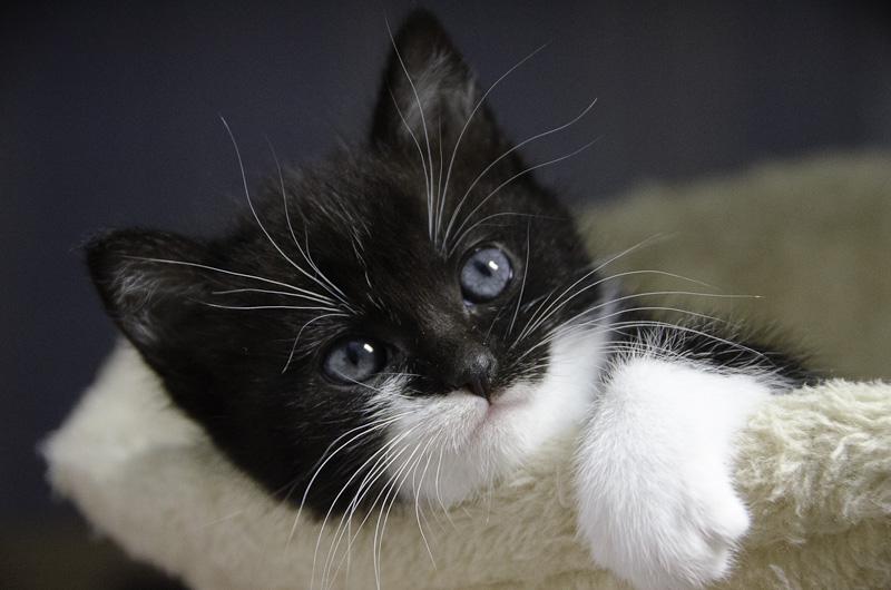 Iona, chatonne noire et blanche, née vers le 15 Aout 2013 Iona-J18-7_zps695130b0