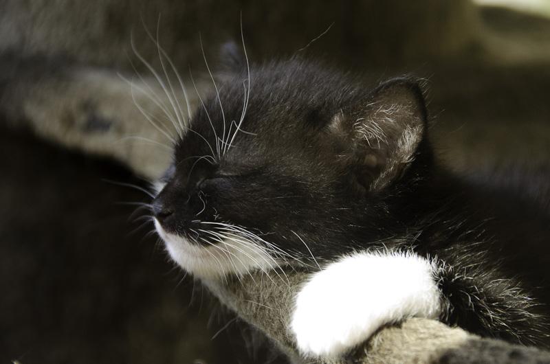 Iona, chatonne noire et blanche, née vers le 15 Aout 2013 Iona-J20-4_zps78284bf6