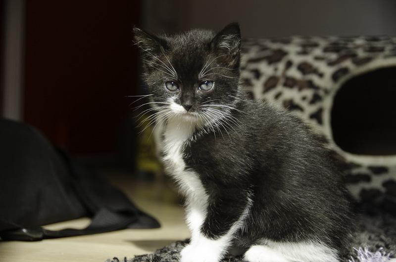Iona, chatonne noire et blanche, née vers le 15 Aout 2013 Iona-J28-2_zps770609c9