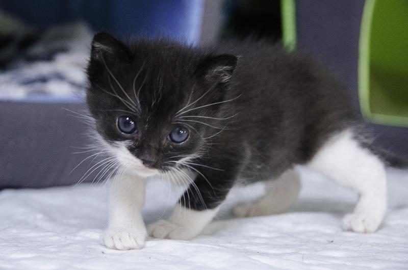 Iona, chatonne noire et blanche, née vers le 15 Aout 2013 Iona-J3-15_zps93dbec47
