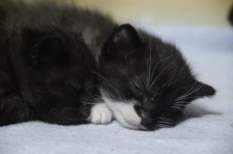 Iona, chatonne noire et blanche, née vers le 15 Aout 2013 Iona-J3-1_zpsc9271d71