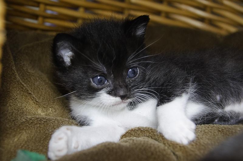 Iona, chatonne noire et blanche, née vers le 15 Aout 2013 Iona-J3-6_zps0a08caab