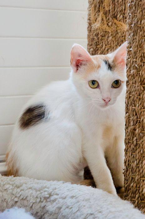 Isabella, femelle type européen tricolore née 15/01/2013 - Page 2 Isabellafemelleblancheetcregraveme4mois-16_zps60545b52
