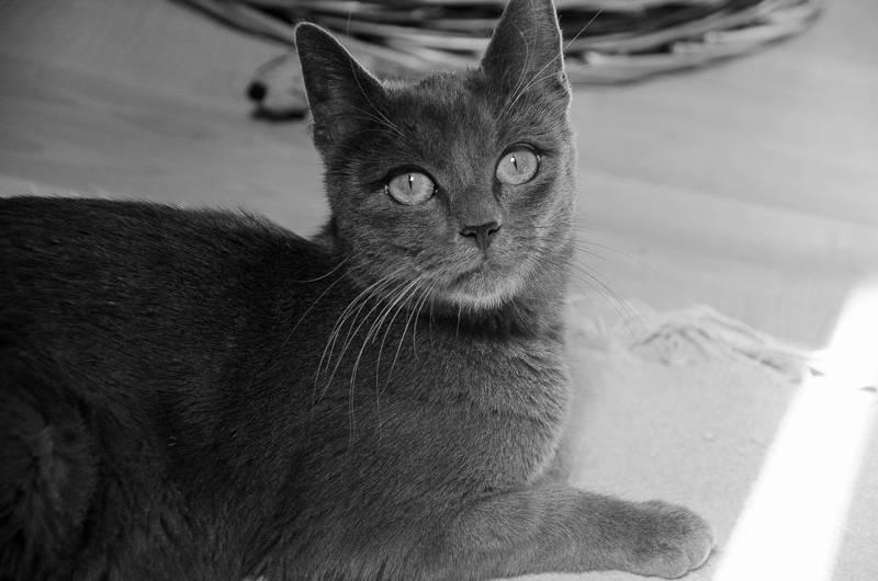Jade, femelle type européenne, grise, née en 2012 Jade-J3-12_zpsd49d37d1