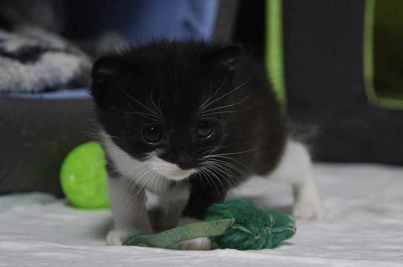 Iona, chatonne noire et blanche, née vers le 15 Aout 2013 Mamanetses2bb-J01-10_zps089764aa