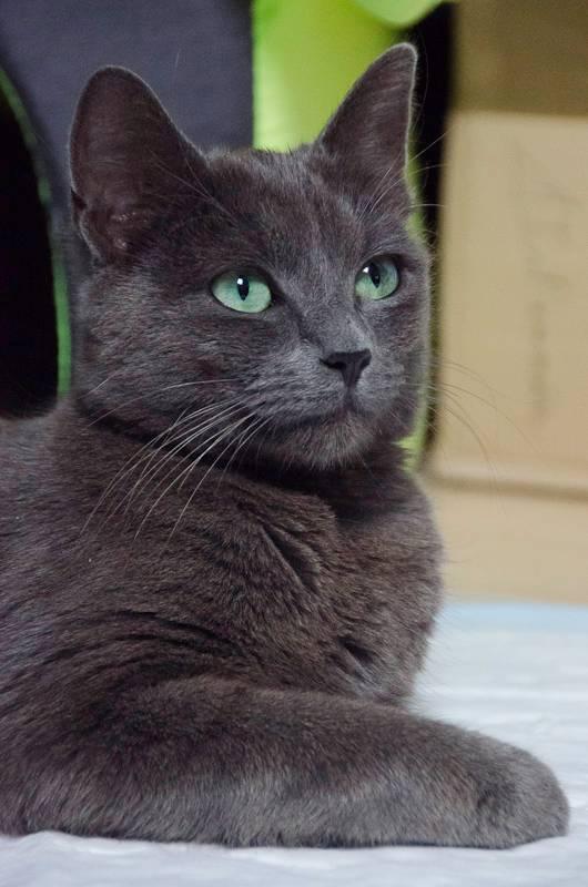 Jade, femelle type européenne, grise, née en 2012 Mamanetses2bb-J01-28_zps8158228a