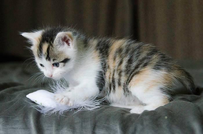 Iroise, femelle type européenne, tricolore, née 1er mai 2013 OJ1-Iroise-4_zps425bdece