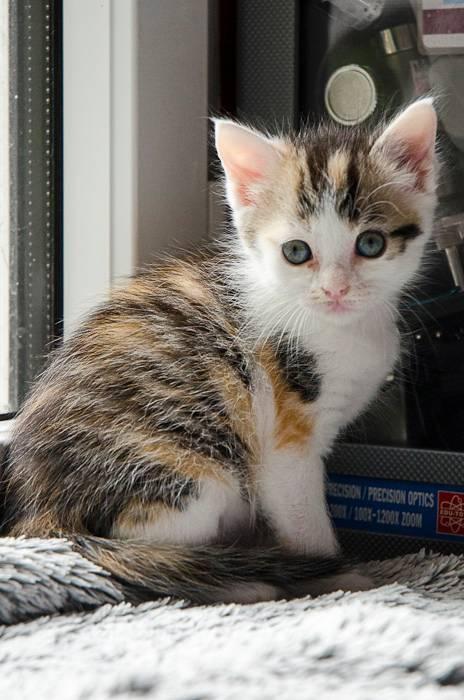 Iroise, femelle type européenne, tricolore, née 1er mai 2013 OJ6-Iroise-11_zps6d326b3e