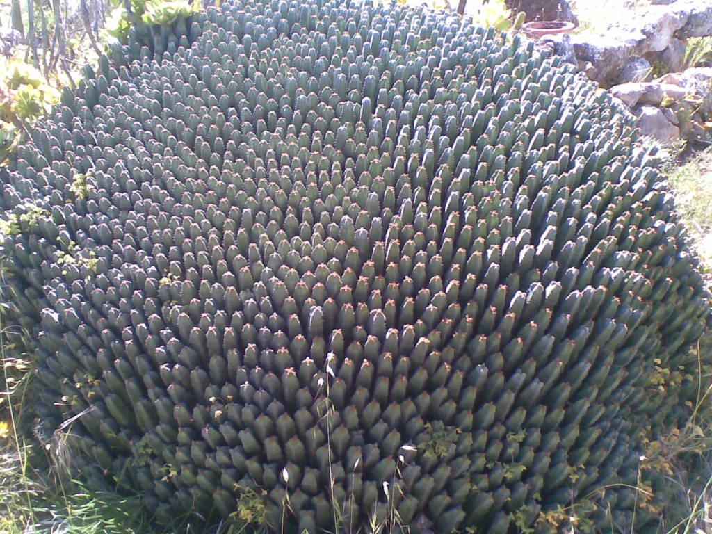 abandoned old cactus tourist park south australia Euphorbiaresiniferacactusgarden