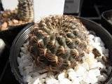 My Rebutia collection july 09-10 Th_RIMG1185