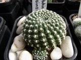 My Rebutia collection july 09-10 Th_RIMG1191
