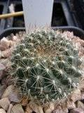 My Rebutia collection july 09-10 Th_RIMG1203