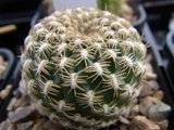 My Rebutia collection july 09-10 Th_RIMG1204