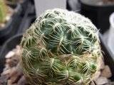 My Rebutia collection july 09-10 Th_RIMG1205
