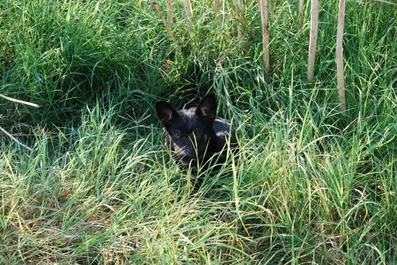 > Mika, un amour de petite chienne, née en mai 2011 - Adoptée 9c0538ab