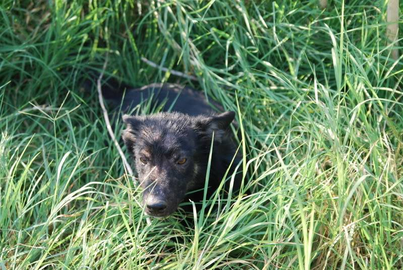 > Mika, un amour de petite chienne, née en mai 2011 - Adoptée Bc825ae6