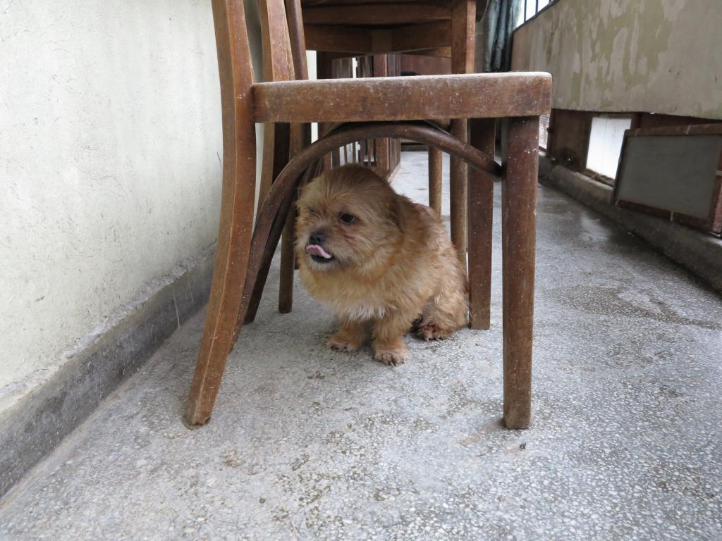 Yvona, née en 2011, petit modèle, chienne super sage IMG_2709_zpse6a47352
