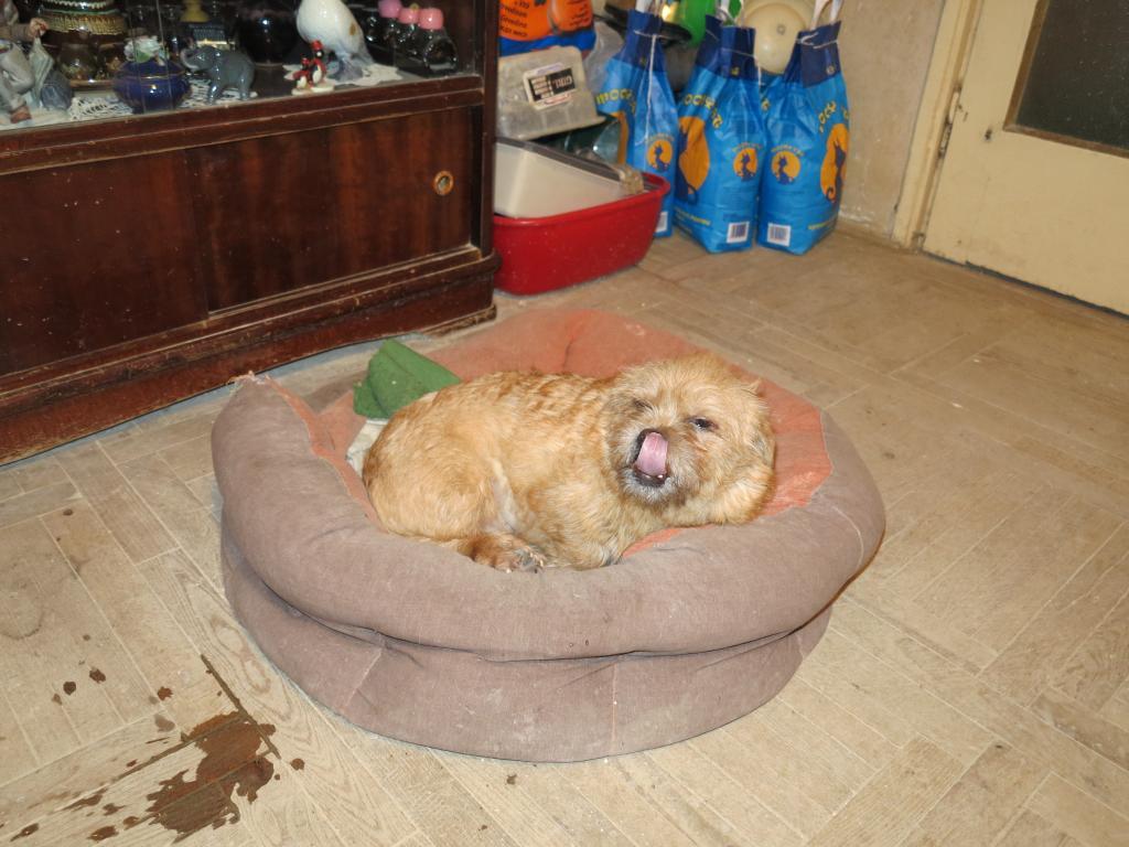 Yvona, née en 2011, petit modèle, chienne super sage IMG_2711_zps052df9ad