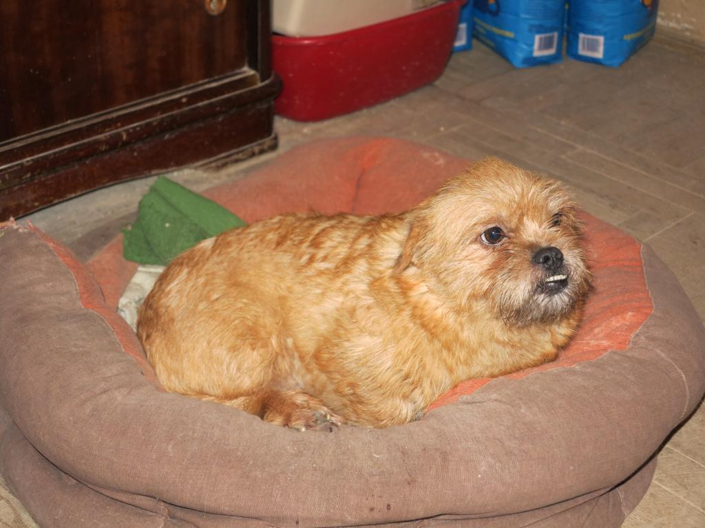 Yvona, née en 2011, petit modèle, chienne super sage IMG_2712_zpsfc013043