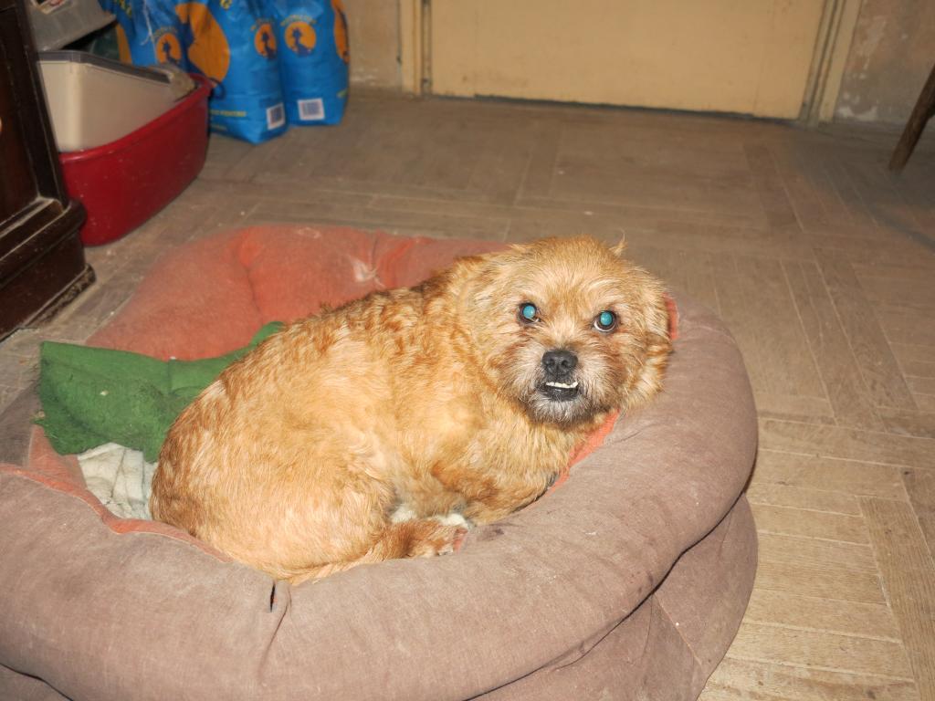 Yvona, née en 2011, petit modèle, chienne super sage IMG_2714_zpsd151d35c