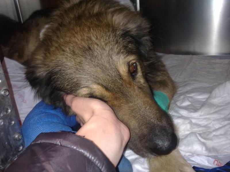 Ringo, mâle, né en 2010, type berger allemand , le chien miracle... ADOPTE ! 2e35aa55