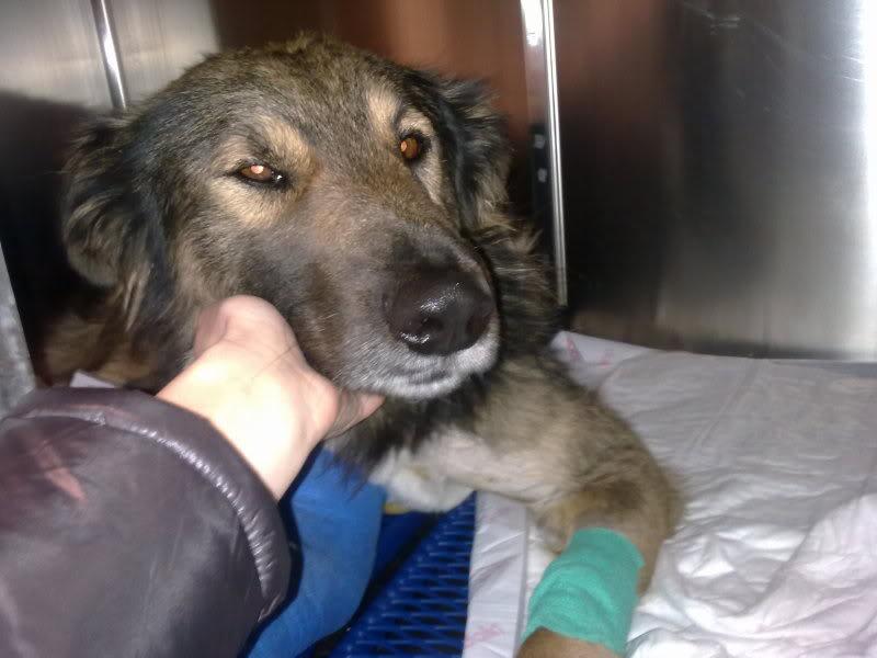 Ringo, mâle, né en 2010, type berger allemand , le chien miracle... ADOPTE ! 4995dc7c