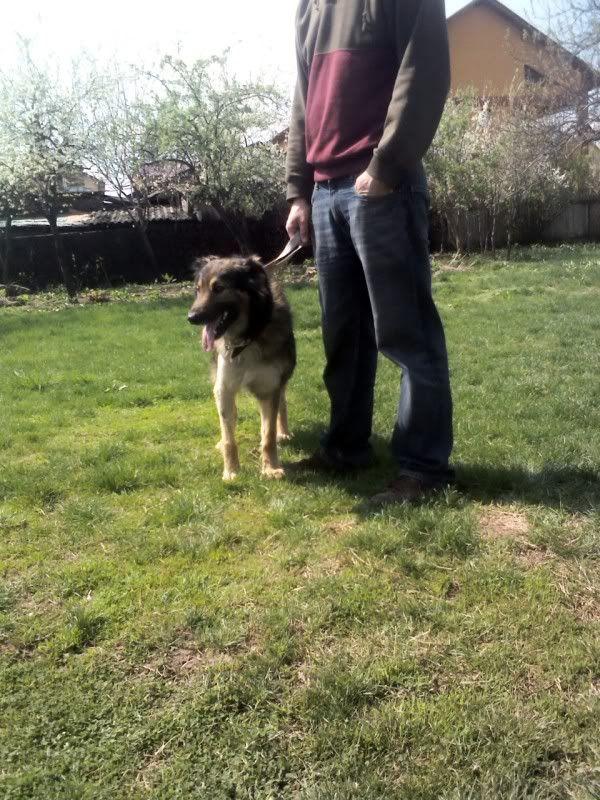 Ringo, mâle, né en 2010, type berger allemand , le chien miracle... ADOPTE ! 64ea67f0