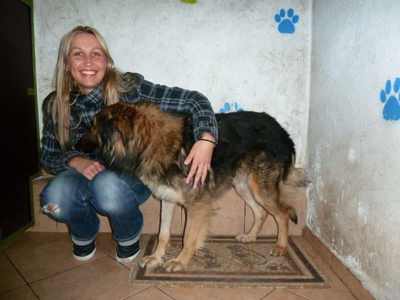 Ringo, mâle, né en 2010, type berger allemand , le chien miracle... ADOPTE ! 68957f77