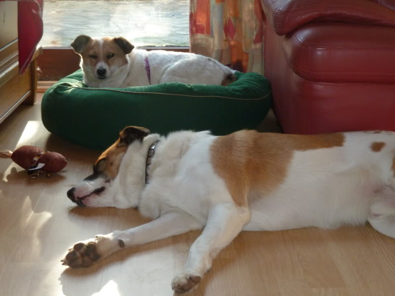Carla, petite chienne, 1 an et demi  6e063c53