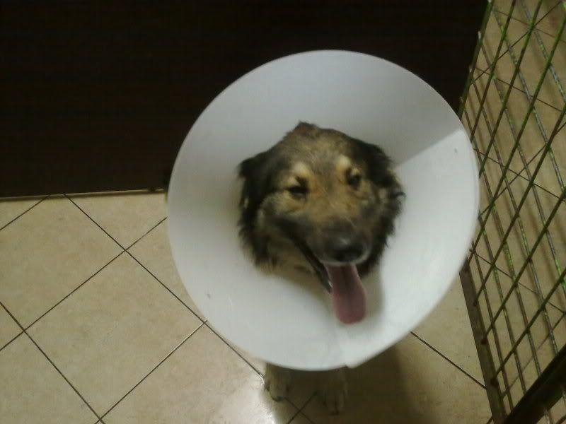 Ringo, mâle, né en 2010, type berger allemand , le chien miracle... ADOPTE ! 6e9bec7d