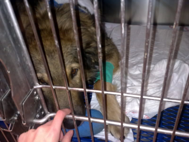 Ringo, mâle, né en 2010, type berger allemand , le chien miracle... ADOPTE ! 6eee856d