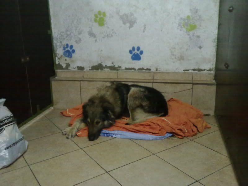 Ringo, mâle, né en 2010, type berger allemand , le chien miracle... ADOPTE ! 75b99b60