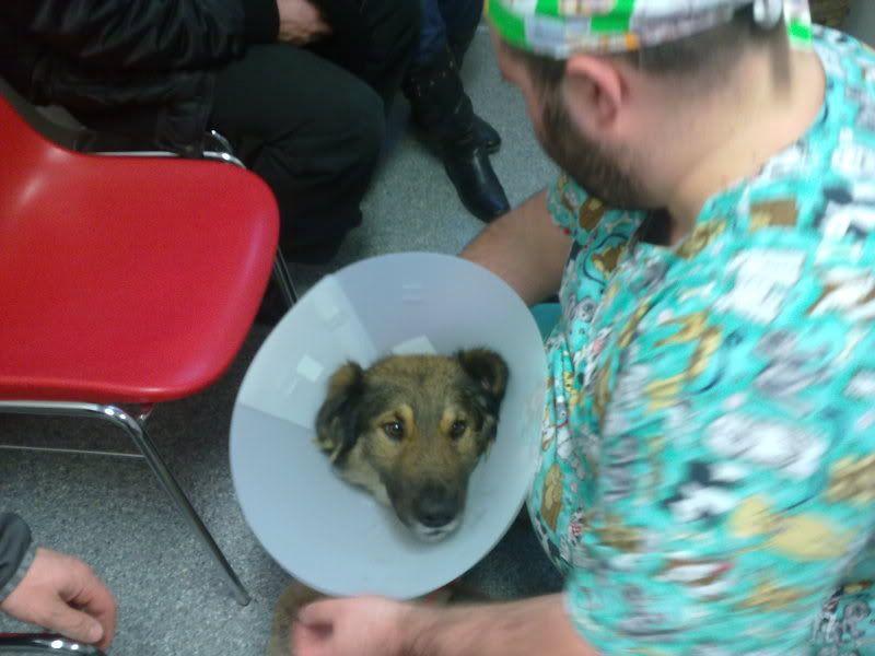 Ringo, mâle, né en 2010, type berger allemand , le chien miracle... ADOPTE ! 7e152bb3