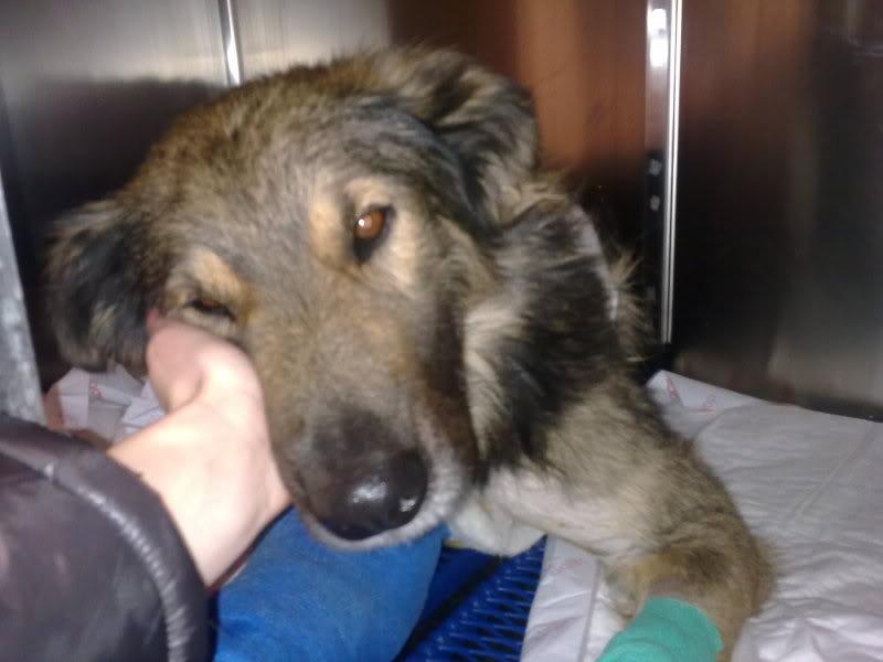 Ringo, mâle, né en 2010, type berger allemand , le chien miracle... ADOPTE ! 868e0a6f