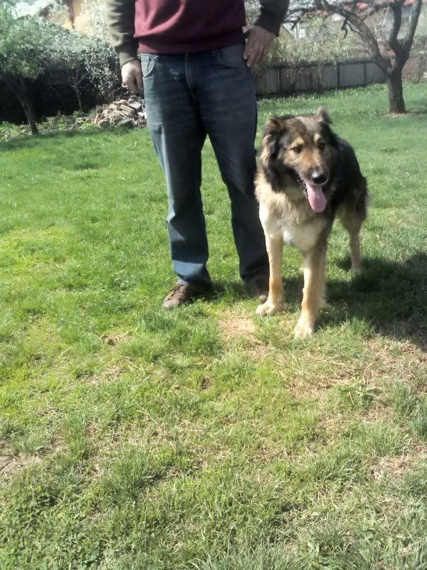 Ringo, mâle, né en 2010, type berger allemand , le chien miracle... ADOPTE ! 96569e79