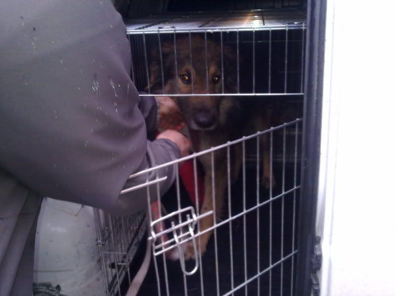 Ringo, mâle, né en 2010, type berger allemand , le chien miracle... ADOPTE ! 9f70d36f