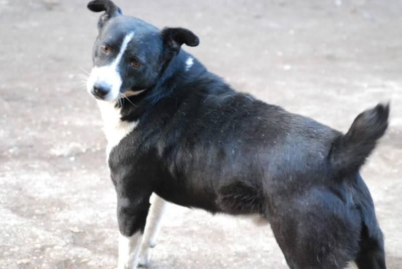 Elios, mâle, type Border Collie, né en 2009 A69013e4