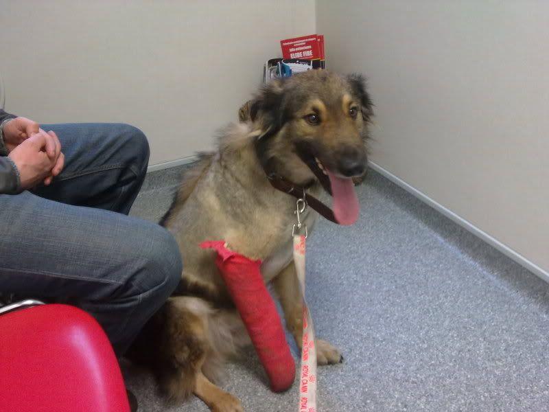 Ringo, mâle, né en 2010, type berger allemand , le chien miracle... ADOPTE ! Aef360d0