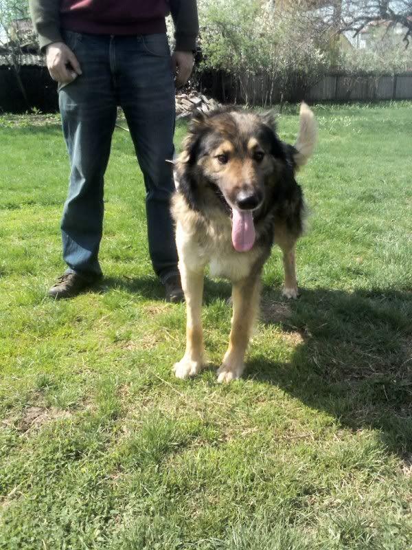 Ringo, mâle, né en 2010, type berger allemand , le chien miracle... ADOPTE ! C1b10490