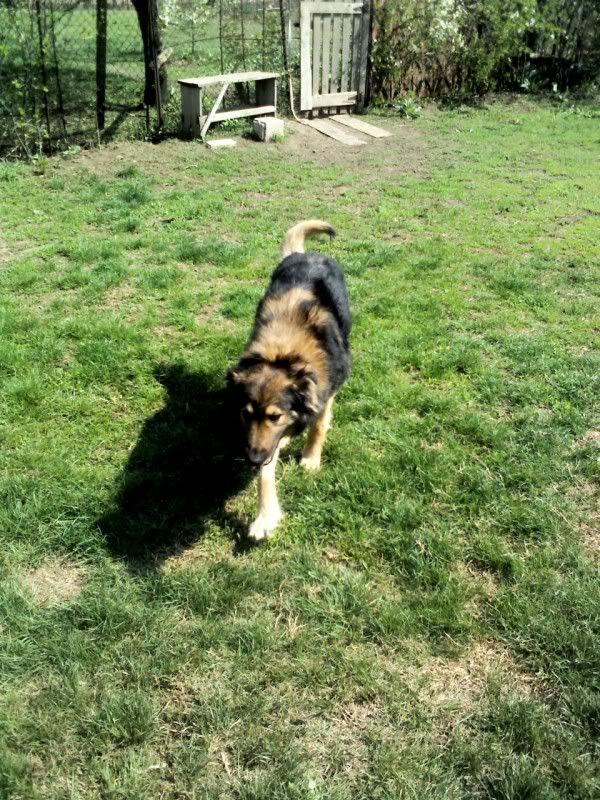 Ringo, mâle, né en 2010, type berger allemand , le chien miracle... ADOPTE ! C264711b