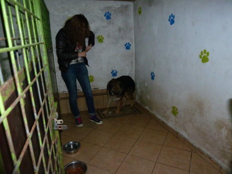 Ringo, mâle, né en 2010, type berger allemand , le chien miracle... ADOPTE ! C4f0b355