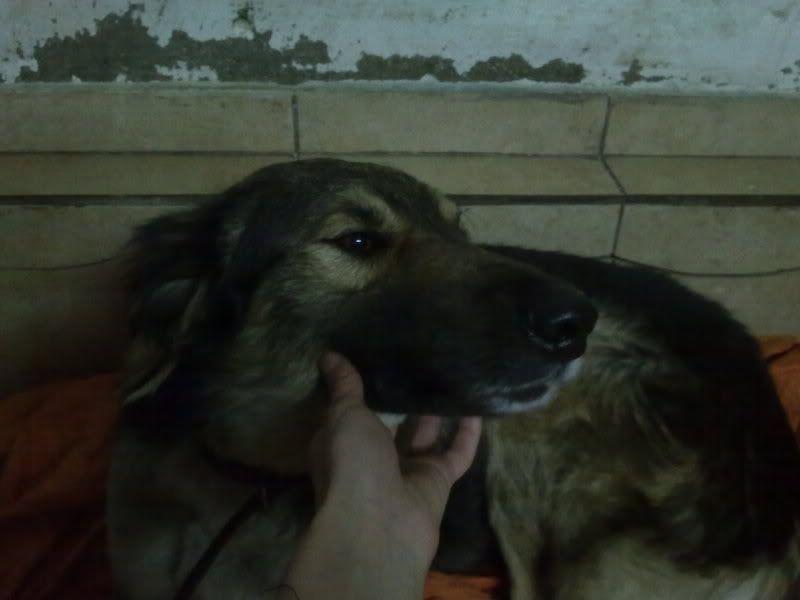 Ringo, mâle, né en 2010, type berger allemand , le chien miracle... ADOPTE ! C7ca6e42