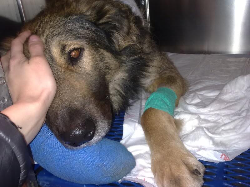 Ringo, mâle, né en 2010, type berger allemand , le chien miracle... ADOPTE ! D02d16e2