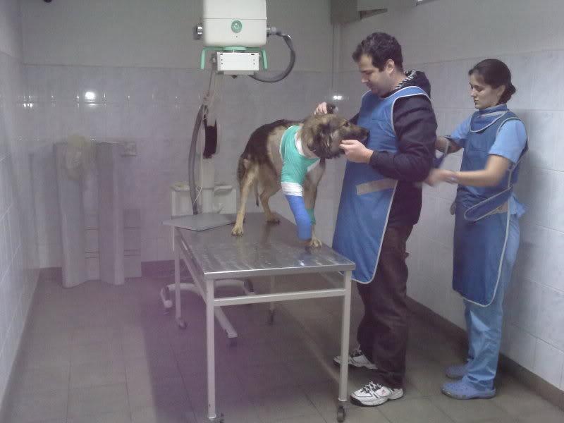 Ringo, mâle, né en 2010, type berger allemand , le chien miracle... ADOPTE ! D0ba0eff