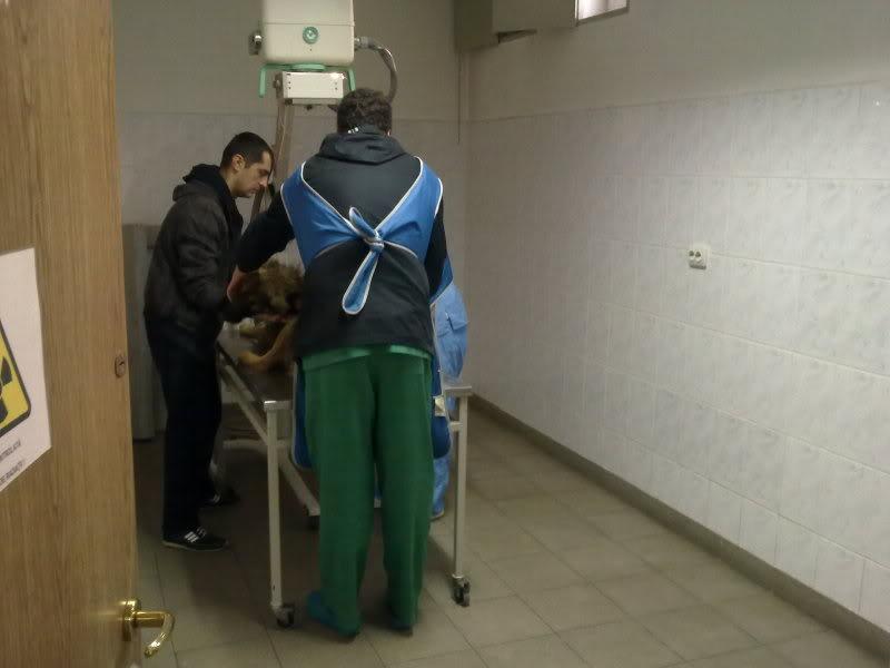 Ringo, mâle, né en 2010, type berger allemand , le chien miracle... ADOPTE ! D6ce5075